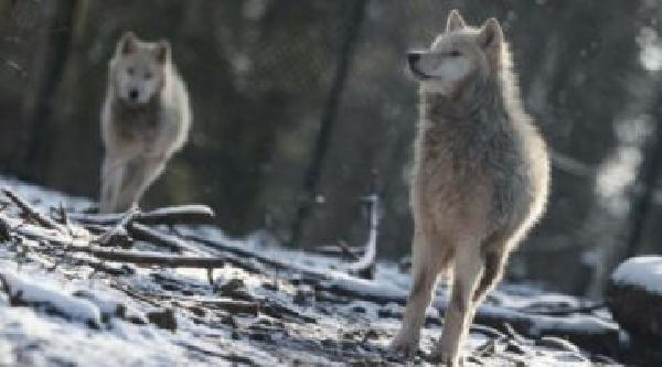 """https://safirsoft.com Wolves create a """"landscape of fear,"""" slowing deer-car collisions"""