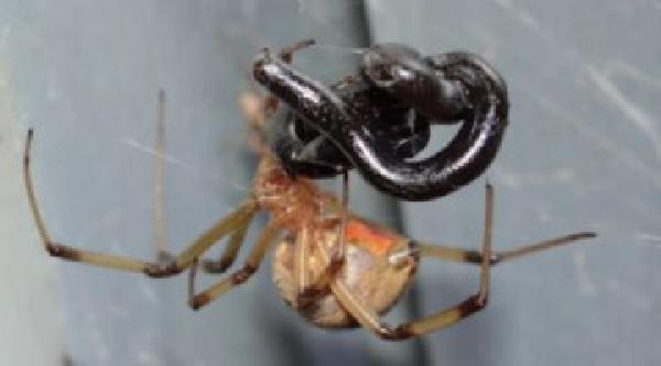 https://safirsoft.com Spiders eat snakes oh my god! These pictures prove it